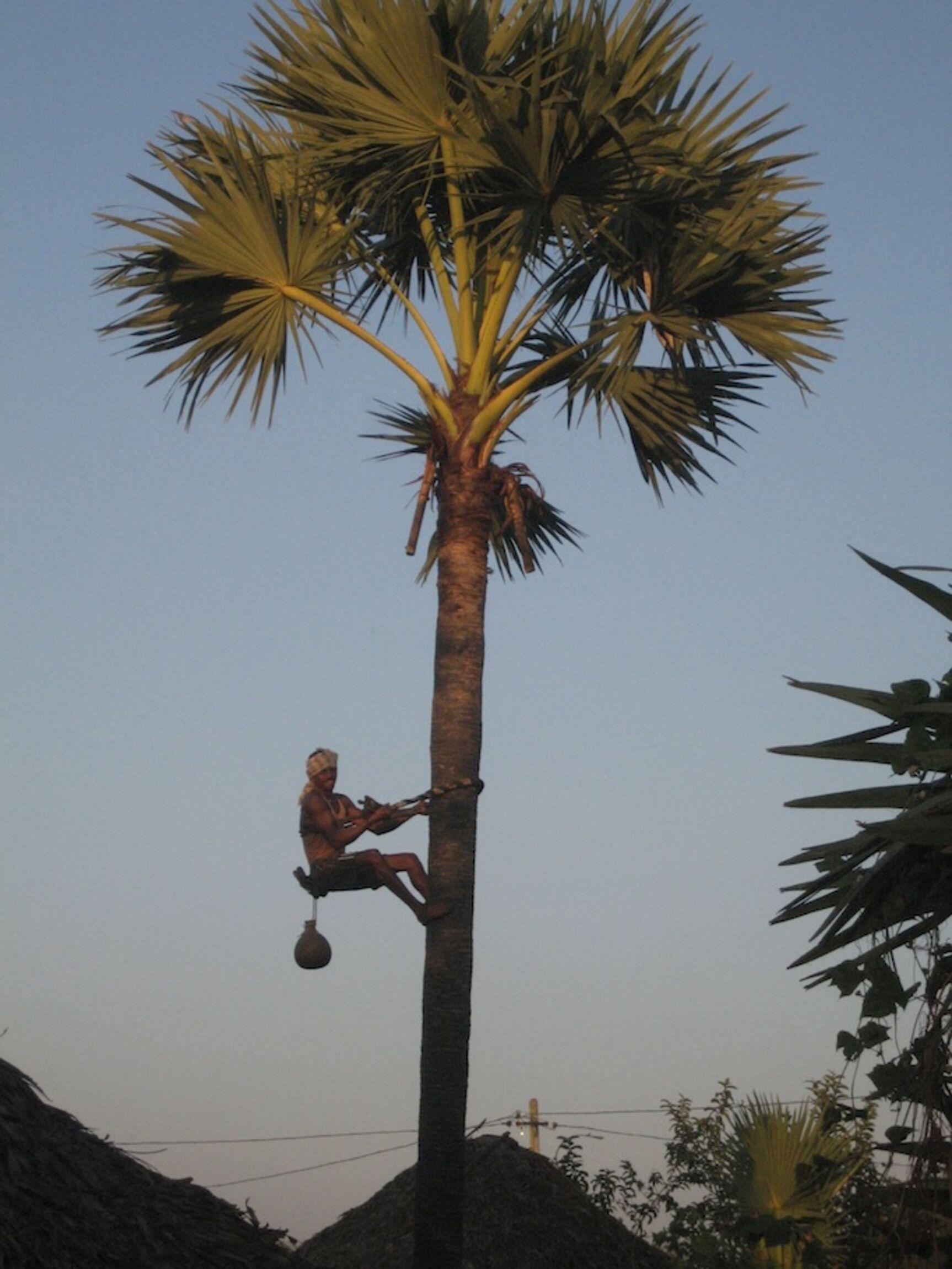 palmkletterer