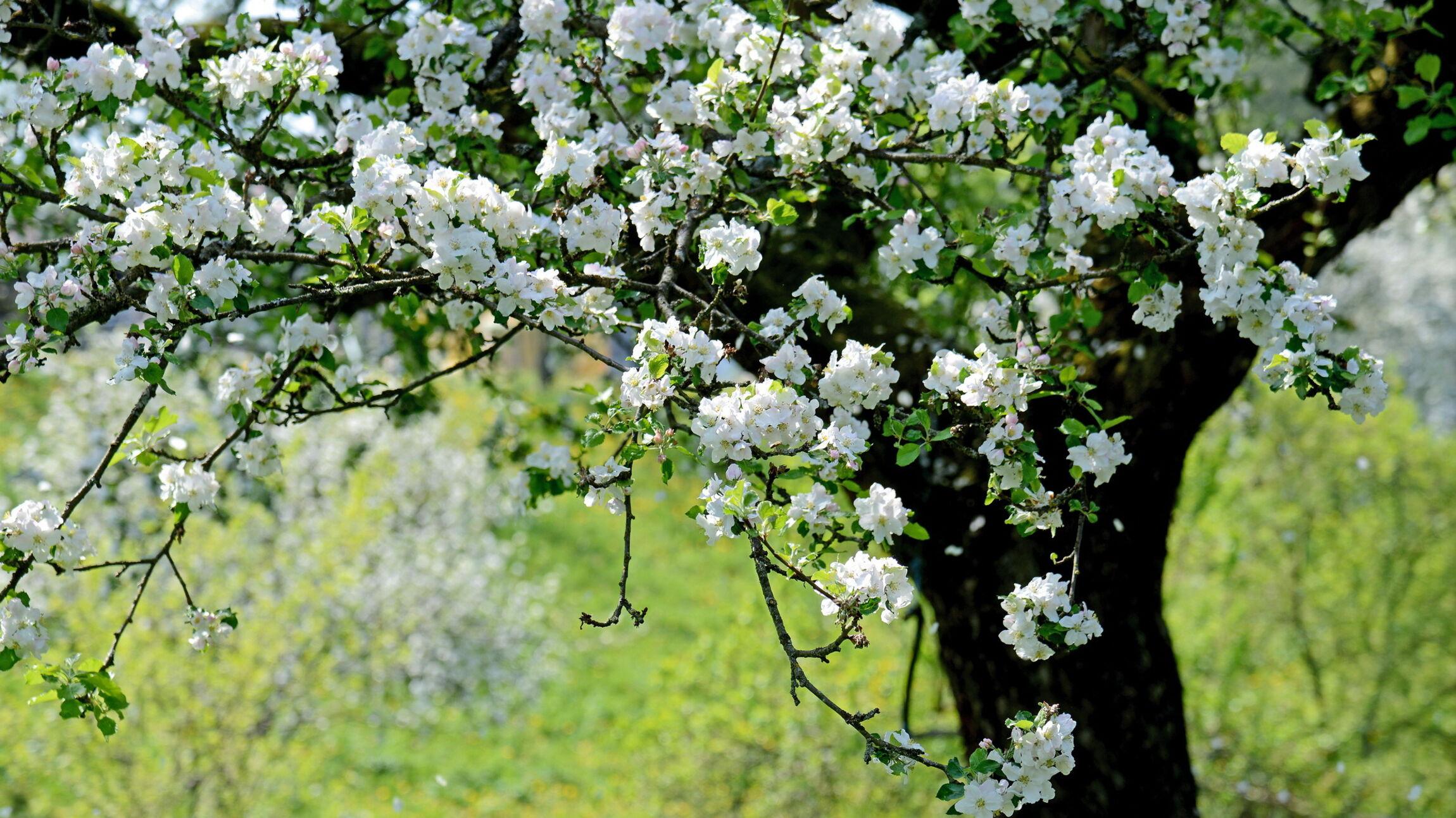 Ostern - Kirschblüte, Teaser