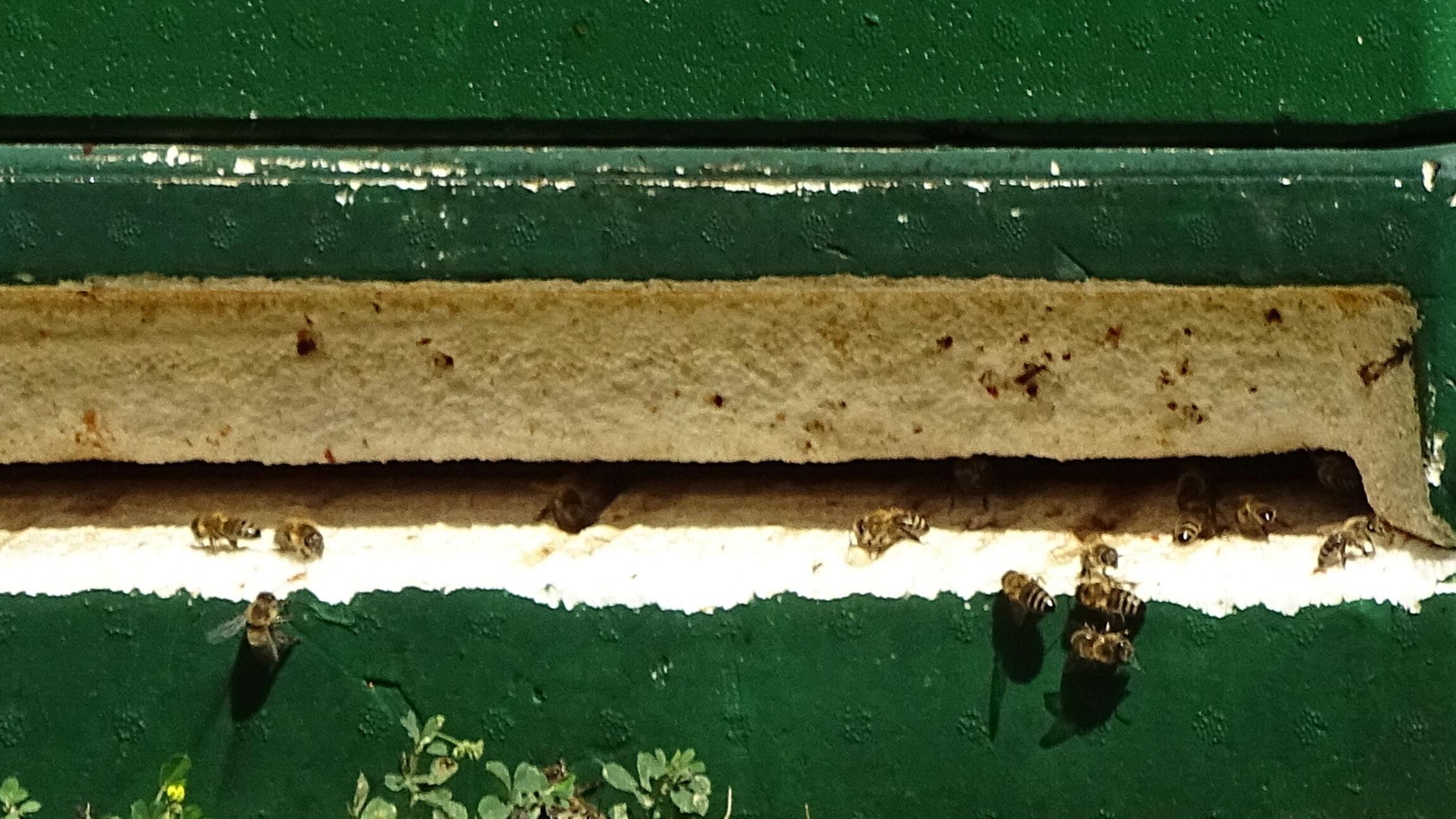 Nach Öffnung eines Bienenstocks summten die ersten Bienen bei St. Paulus