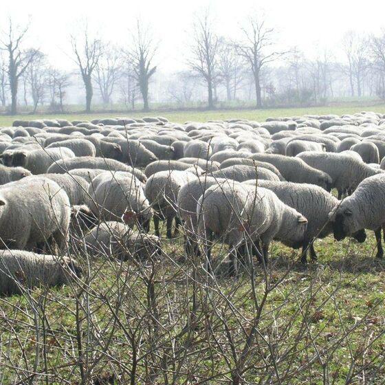 Herde Texela