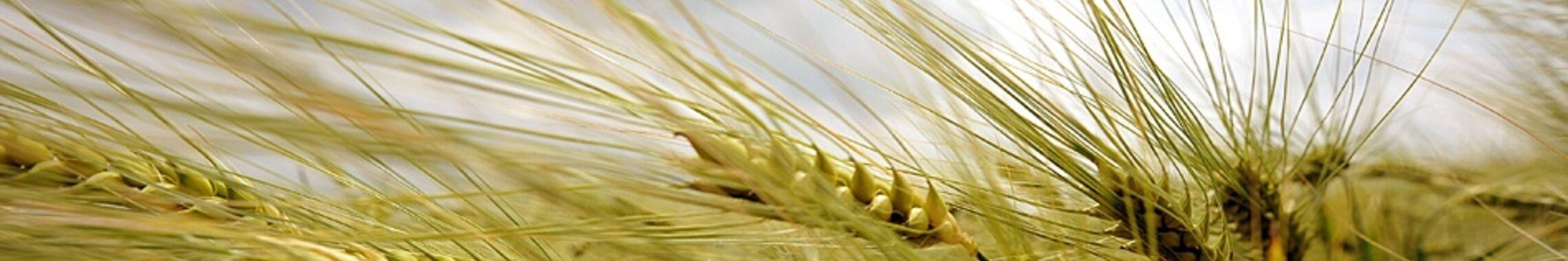 Nahaufnahme: Weizen-Ähren