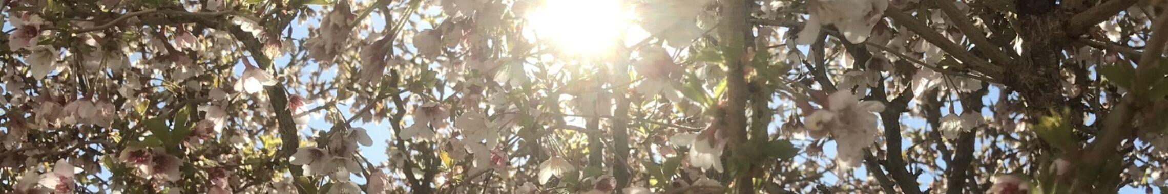 Blühende Zierpflaume 03.05.2020