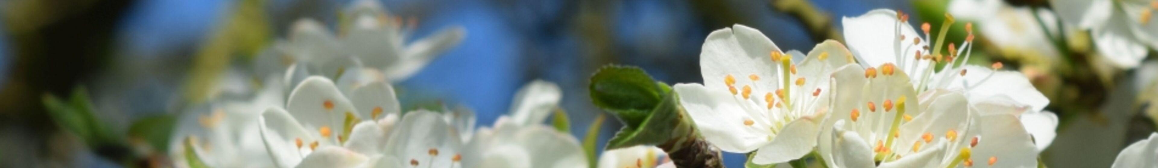 04_pflaumenblüte