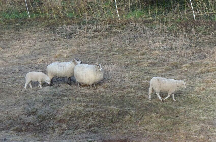 Schafe (Foto: I.Stieg)