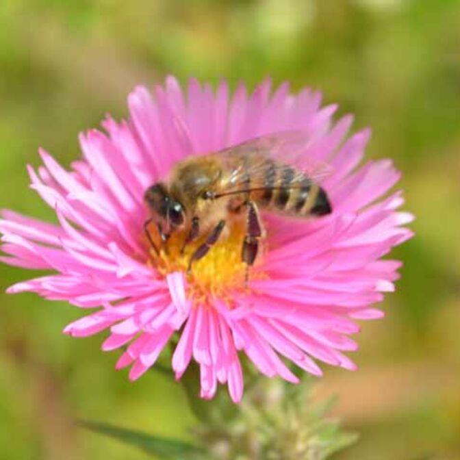 Teaser_Garten_Blume_mit_Biene
